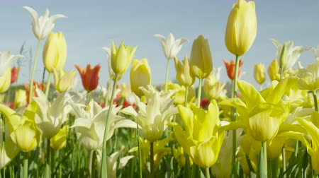 špičatý : CLOSE UP, SLOW MOTION: Amazing big colorful field of lovely wild planted diverse tulip flowers of different shapes, colors and sizes. Delicate silky tulips blooming on big natural flower field