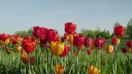 ot : CLOSE UP, SLOW MOTION: Amazing colorful meadow field with lovely rich red tulips growing and blooming on beautiful grassy field near local touristic flower cultivating park on beautiful sunny day