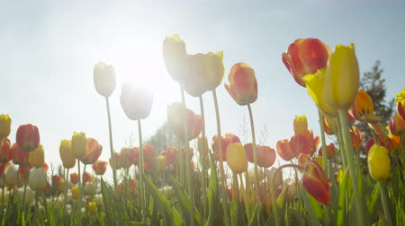 odlišný : SLOW MOTION, CLOSE UP, LOW ANGLE VIEW: Lovely delicate silky yellow, red and orange flowering tulip bulbs of different sorts blooming on amazing wild grassy field on beautiful sunny spring day