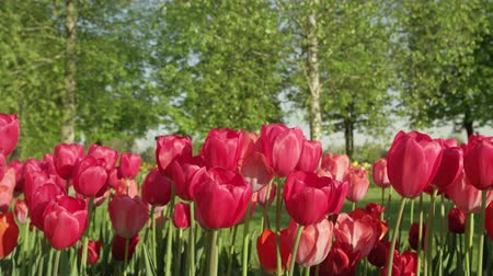 шелковистый : CLOSE UP, SLOW MOTION: Amazing delicate rosy red colorful tulip bulbs blooming on beautiful gardens at floricultural touristic park with big lush tree avenue in the background on sunny spring day