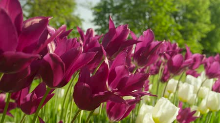 špičatý : CLOSE UP, SLOW MOTION, DOF: Amazing purple and white colorful tulip bulbs blooming on beautiful gardens at floricultural touristic park with big lush tree avenue in the background on sunny spring day Dostupné videozáznamy