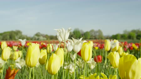 špičatý : CLOSE UP, SLOW MOTION, DOF: Amazing red, yellow and white colorful tulips of different sorts, shapes, sizes and colors blooming on beautiful grassy meadow near floricultural field at touristic park