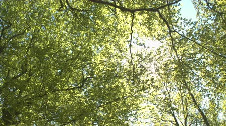 baldachin : LOW ANGLE VIEW: Sunbeams shining through lush green tree canopies and branches in sunny spring day. Sunlight penetrating through young leaves and canopies in beautiful deciduous forest in local park