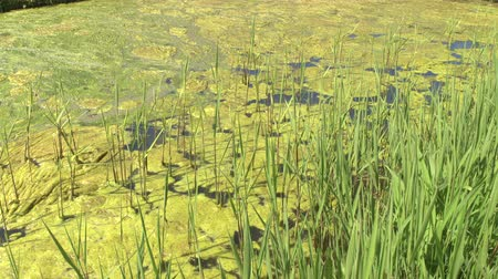 algler : CLOSE UP: Fascinating growth of thick layer of algae ecosystem on the surface of polluted standing water pond. Terrific impact of industry and toxic waste disposal on the environment and aquatic life