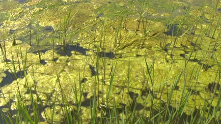 stagnant : CLOSE UP: Fascinating growth of thick layer of algae ecosystem on the surface of polluted standing water pond. Terrific impact of industry and toxic waste disposal on the environment and aquatic life