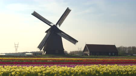 malom : AERIAL, CLOSE UP: Flying next to beautiful colorful rows of flowering tulips on big floricultural farmland in front of traditional antique wooden windmill at Keukenhof gardens, Amsterdam, Netherlands Stock mozgókép