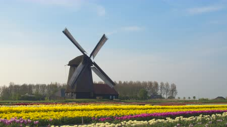 próximo : AERIAL, CLOSE UP: Flying next to beautiful colorful rows of flowering tulips on big floricultural farmland in front of traditional antique wooden windmill at Keukenhof gardens, Amsterdam, Netherlands Stock Footage