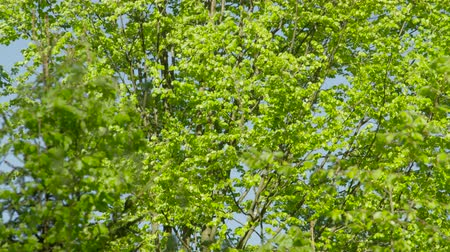 opadavý : SLOW MOTION: Green leaves fluttering in lush tree canopy against the clear blue sky