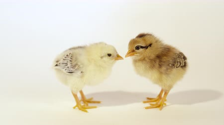 csajok : SLOW MOTION CLOSE UP: Two adorable newly hatched baby chickens against the white background