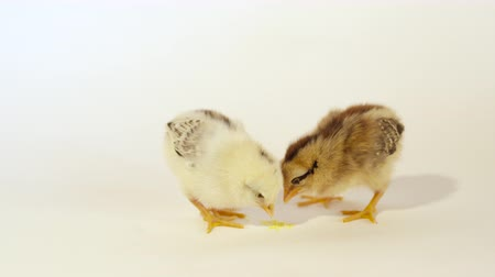 csajok : SLOW MOTION CLOSE UP: Two cute little baby chicks pecking seeds against white background