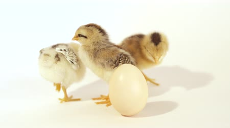 bird eggs : CLOSE UP: Three cute little baby chicks and an unhatched egg against the white background