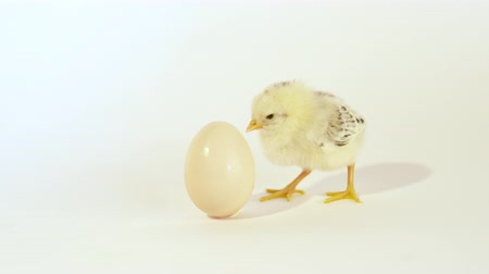 csaj : SLOW MOTION CLOSE UP: Adorable yellow baby chick and an unhatched egg against the white background Stock mozgókép