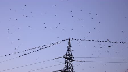 gołąb : SILHOUETTE: Big flock of black birds flying and sitting on electrical power lines in evening. Many crows gathering high above on electric transmission tower at dusk Wideo