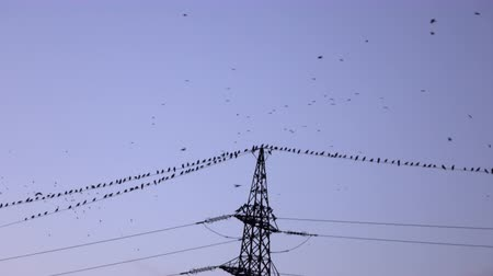 пилон : SILHOUETTE: Big flock of black birds flying and sitting on electrical power lines in evening. Many crows gathering high above on electric transmission tower at dusk Стоковые видеозаписи