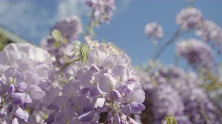 dağcı : SLOW MOTION CLOSE UP DOF: Beautiful blooming violet wisteria flowers on house pergola on a perfect sunny day. Delicate glicinia purple petals hanging and swaying in spring breeze