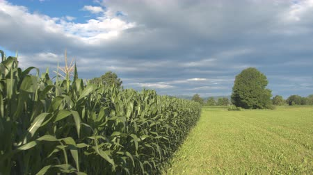 agricultural lands : CLOSE UP, MOVING FORWARD SHOT: Young green corn growing on beautiful agricultural field in sunny farmland. Green maize and lush meadow fields in sunny countryside Stock Footage