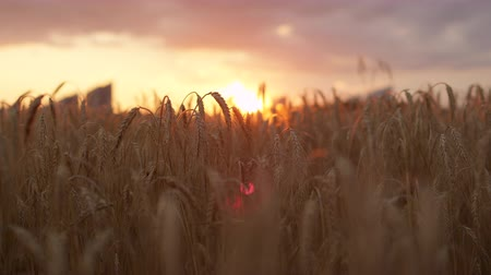 saman : DOF CLOSE UP: Golden sunset sun shining through dry yellow wheat ear on agricultural field in vast farmland, cityscape silhouette in the background in beautiful warm summer evening Stok Video