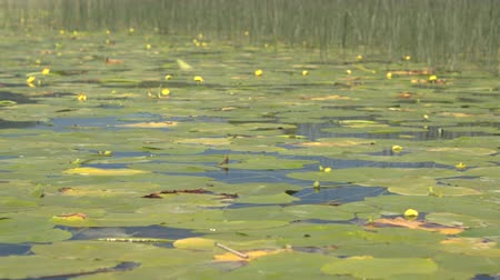 lilie : AERIAL, CLOSE UP: Flying close above amazing wetland lake with yellow flowering water lilies and aquatic swamp plants covering and floating on quiet glassy water surface on beautiful sunny day Dostupné videozáznamy