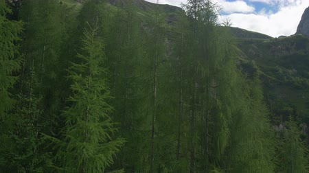 skalnatý : AERIAL: Flying up and over lush green larch trees towards rocky mountain tops in sunny spring