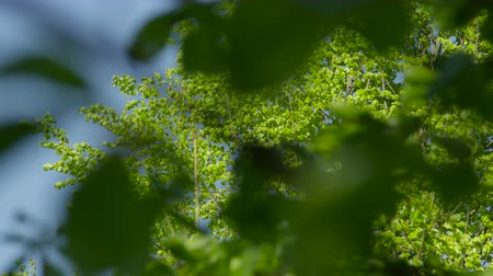 sottobosco : SLOW MOTION CLOSE UP: Lush green leaves in tree canopy swinging in summer breeze