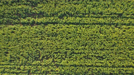 rapa : AERIAL, CLOSE UP, APPROACHING: Flying above beautiful plant rows on farm field under cultivation and young yellow oilseed rape in flower on biological agricultural countryside land on sunny spring Stock Footage