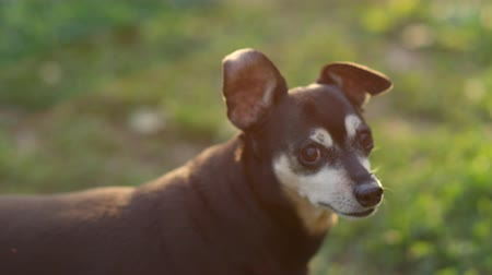 fajtatiszta kutya : SLOW MOTION, CLOSE UP: Sweet senior purebred small dog looking around, lifting and lowering his ears. Cute elder Miniature Pinscher standing on meadow grass in local park on beautiful sunny evening