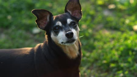 fajtatiszta kutya : SLOW MOTION, CLOSE UP: Sweet senior purebred small dog in profile lifting his ears as turning his head into the camera and lowering them down. Cute Miniature Pinscher standing on meadow grass in park