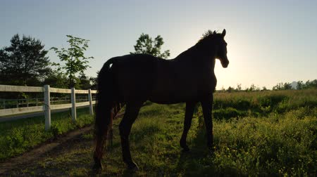 stallion : SLOW MOTION, CLOSE UP: Profile of beautiful powerful dark brown stallion horse standing on gazing field, pasturing, shaking with his head and swaying with the tail on stunning golden sunset evening