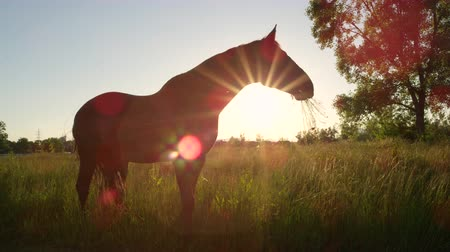 corral : SLOW MOTION, CLOSE UP: Profile of beautiful powerful dark brown stallion horse standing on gazing field, pasturing, shaking with his head and swaying with the tail on stunning golden sunset evening