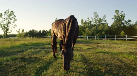 jezdecký : SLOW MOTION, CLOSE UP: Moving around beautiful powerful dark brown stallion horse standing on meadow field and pasturing at stunning golden sunset. Big strong gelding gazing on pasture at sunrise