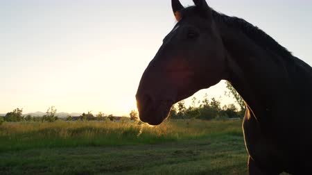 cavalinho : SLOW MOTION, CLOSE UP: Beautiful powerful dark brown stallion horse pasturing on vast meadow field at golden sunset evening and shaking his mane. Big and strong gelding gazing on pasture at sunrise
