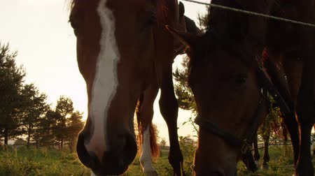 čelo : SLOW MOTION, CLOSE UP: Group of beautiful adult horse, elegant mare and young playful colt looking curiously and sniffing. Dark bay horses on vast meadow field on stunning sunny evening at golden sunset