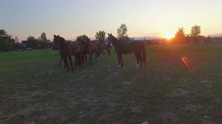 ranč : AERIAL, CLOSE UP: Flying around a group of curious young mares playing and running on vast meadow field on horse ranch at stunning sunset. Beautiful horses standing on grassy pasture at sunrise Dostupné videozáznamy