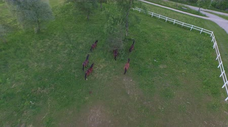 загон : AERIAL: Flying above numerous group of beautiful domestic horses running and playing freely on vast pasture meadow field. Dark bay mares and chestnut geldings running between trees on big horse ranch
