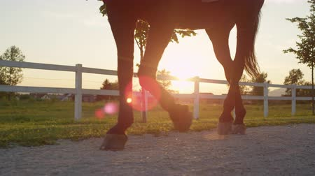 ranč : CLOSE UP, SLOW MOTION, DOF: Strong brown stallion walking along small footpath on horse ranch on beautiful sunny morning. Powerful dark bay gelding relaxing on summer evening and cooling down