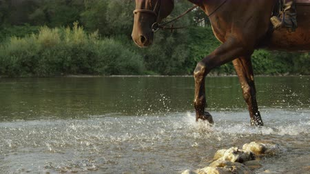 окропляет : SLOW MOTION, CLOSE UP, DOF: Brown horse walking in the river and splashing waterdrops on beautiful summer day. Dark bay gelding walking in shallow water in rocky riverbed at beautiful sunset