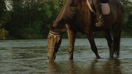 earmuffs : CLOSE UP, SLOW MOTION: Beautiful strong dark bay horse drinking water from river hes standing in. Thirsty gelding swallowing cold water from crystal clear stream on beautiful sunny early evening