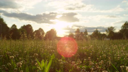 verdant : SLOW MOTION, CLOSE UP: Young and tall grass blades, straw and clover covered in morning dew on beautiful meadow field in magical spring. Insects flying around and bees collecting sweet honey Stock Footage