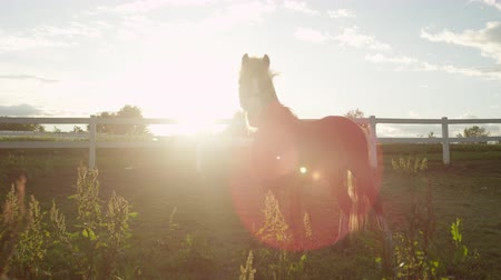 poník : CLOSE UP, SLOW MOTION, DOF: Two sweet little ponies standing on pasturage field and observing surroundings on stunning golden light sunset. Cute brown pony enjoying warm sun on beautiful sunny morning Dostupné videozáznamy
