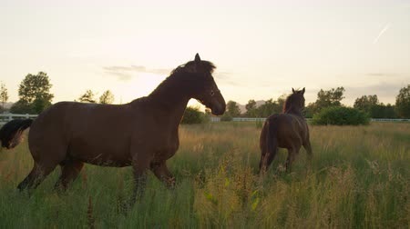 загон : SLOW MOTION, CLOSE UP: Two beautiful dark brown horses standing in tall grass and pasturing at amazing golden light sunset. Adorable powerful horses running on vast meadow field at sunny morning