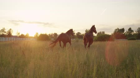ranč : SLOW MOTION, CLOSE UP: Two beautiful dark brown horses standing in tall grass and pasturing at amazing golden light sunset. Adorable powerful horses running on vast meadow field at sunny morning
