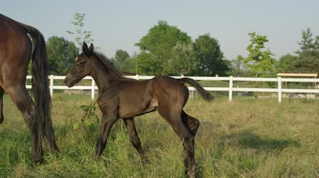 shake hair : SLOW MOTION, CLOSE UP: Cute little newborn horse shaking his head and following his mothers steps on vast meadow field on beautiful sunny day. Shy dark brown colt hiding and standing behind mare