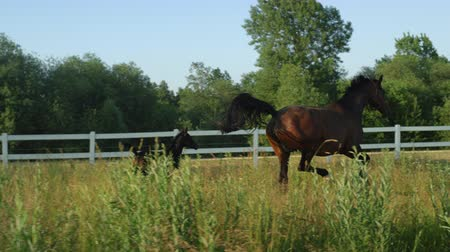 загон : SLOW MOTION, CLOSE UP: Strong cute baby foal and muscular dark bay mare running fast along big meadow field on beautiful summer day on horse ranch. Mother teaching her baby cantering in tall grass