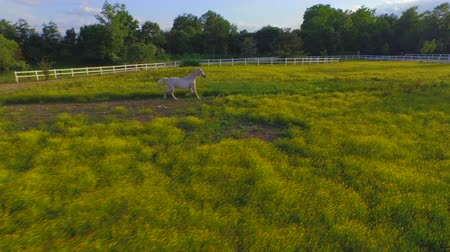 ranč : AERIAL, CLOSE UP: Flying close above strong muscular white stallion trotting on blooming meadow field on big horse ranch. Beautiful grey gelding running on vast farm on amazing sunny summer day
