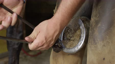 at nalı : SLOW MOTION, CLOSE UP: Skilled blacksmith taking away old horseshoe, pulling off nailheads and removing worn out shoe to replace it with new one. Cooperative horse with leg lifted up standing still Stok Video