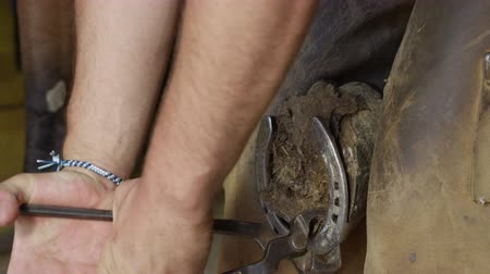 pull out : SLOW MOTION, CLOSE UP: Skilled blacksmith farrier taking away old horseshoe, pulling off and removing worn out shoe to replace it with new one. Cooperative horse lifting leg up, standing still Stock Footage