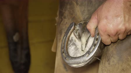 cooperative work : SLOW MOTION, CLOSE UP: Skilled blacksmith placing metal horseshoe on horses hoof and nailing it. Expert farrier shoeing horse, putting nails in through the insensitive hoof wall and bending them