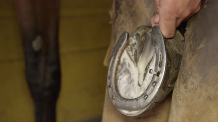 herélt ló : SLOW MOTION, CLOSE UP: Skilled blacksmith placing metal horseshoe on horses hoof and nailing it. Expert farrier shoeing horse, putting nails in through the insensitive hoof wall and bending them