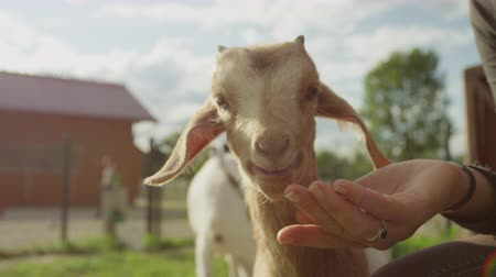 cabra : SLOW MOTION, CLOSE UP: Beautiful young cheerful girl giving piece of an apple to happy kid goat on smallholding farm. Cute domestic animal enjoying warm sunny summer day in zoo and chewing juicy fruit Stock Footage