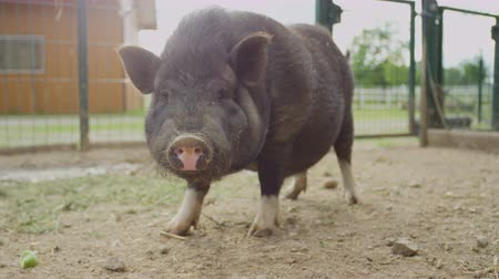 porquinho : SLOW MOTION, CLOSE UP, DOF: Happy cute small black pig eating food in outside stable on big modern animal ranch. Adorable domestic animal standing on soil ground and chewing feed on agricultural farm Stock Footage